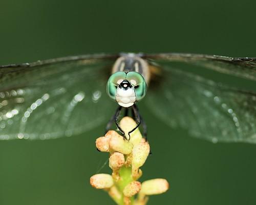 macro dragonfly © northcarolina raleighnc odonata bluedasher jcraulstonarboretum sigma105mmf28 garyburke olympuse620