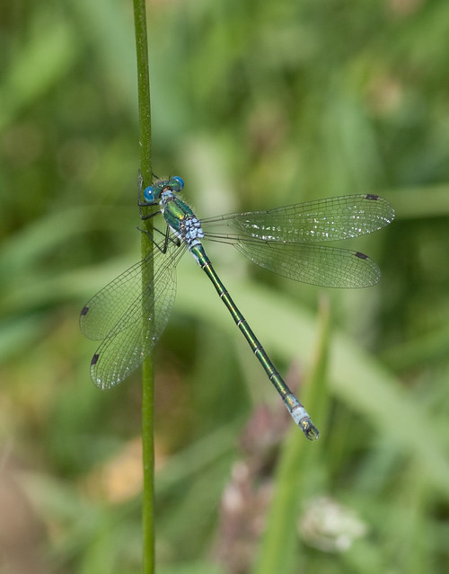 scarce emerald damselfly male
