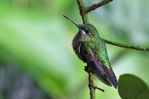 Green-crowned Brilliant (female), Bosque de Paz