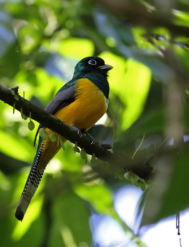 Black-throated Trogon, Corcovado National Park
