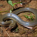 Yellowbelly Water Snake - Photo (c) Skink Chen, some rights reserved (CC BY-NC-ND)