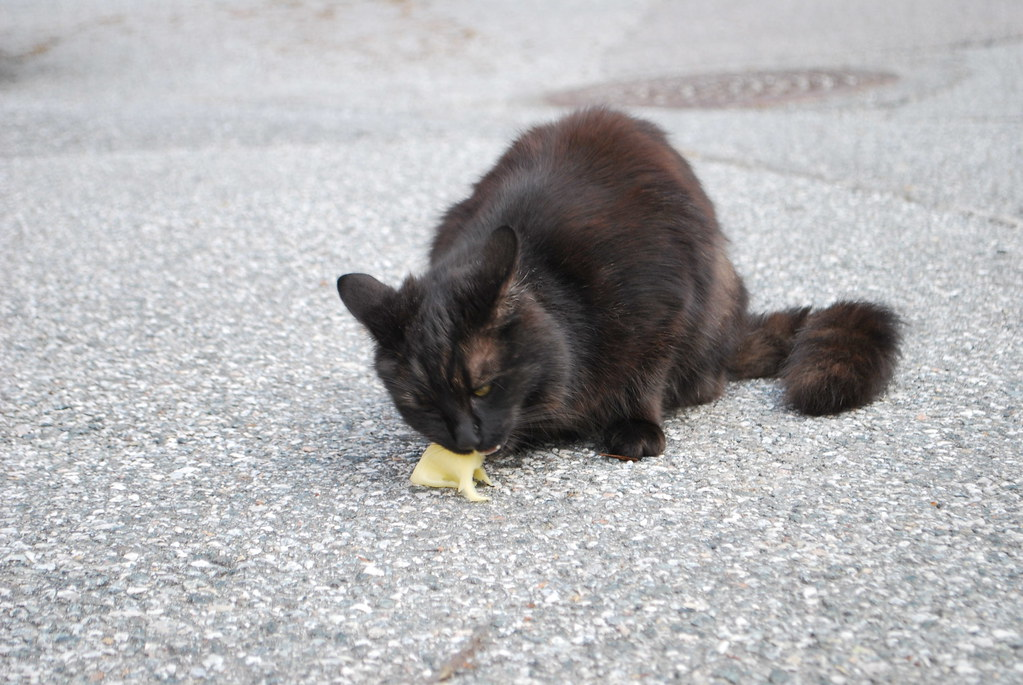 Norwegian Forest Cat (Black) eating our cheese in Bergen