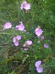 annual plant(1.0), flower(1.0), garden cosmos(1.0), pinkladies(1.0), plant(1.0), wildflower(1.0), flora(1.0),