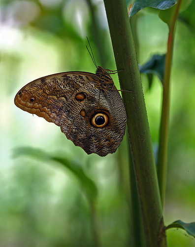 Magnificent Owl Butterfly, Tortuguero National Park