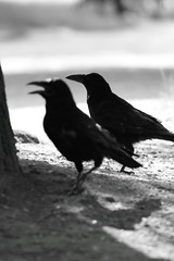 animal, wing, raven, crow, monochrome photography, fauna, monochrome, black-and-white, american crow, beak, black, bird, rook,