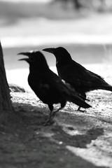 perching bird(0.0), cinclidae(0.0), blackbird(0.0), animal(1.0), wing(1.0), raven(1.0), crow(1.0), monochrome photography(1.0), fauna(1.0), monochrome(1.0), black-and-white(1.0), american crow(1.0), beak(1.0), black(1.0), bird(1.0), rook(1.0),