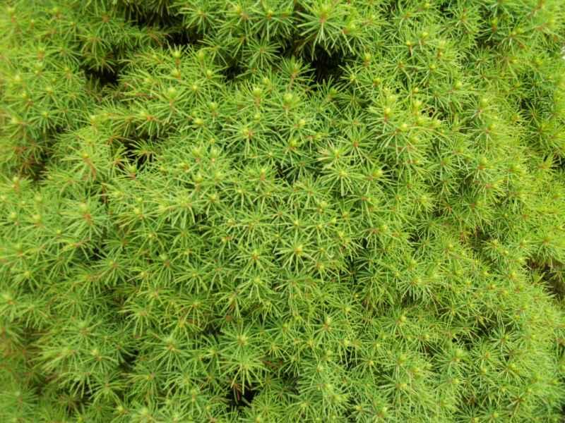 Picea glauca 'Conica' 3