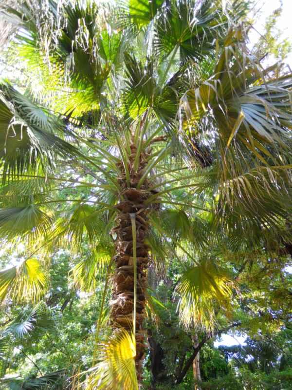 Livistona chinensis v 1