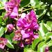 Bougainvillea hybrida 'Barbara Karst' detalle 3