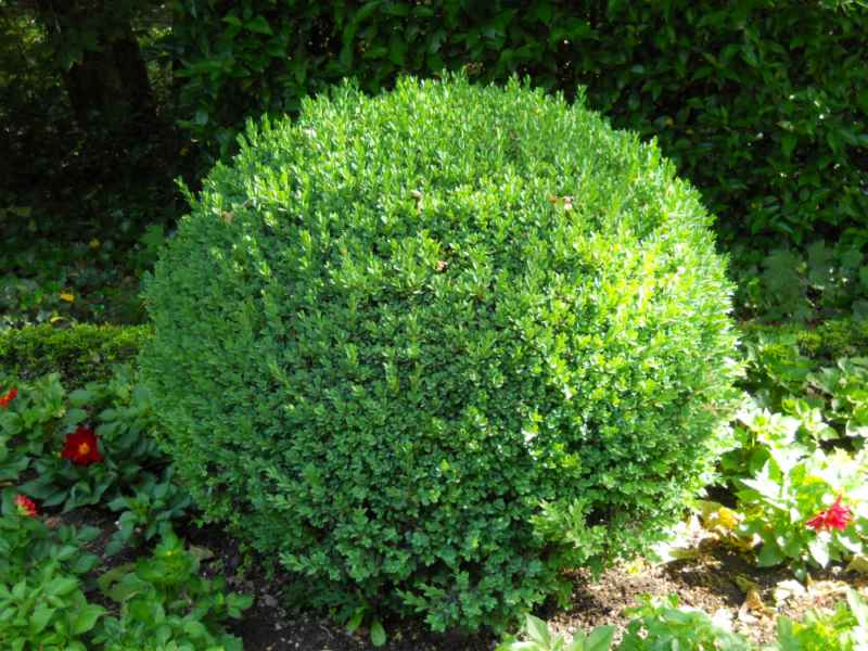 Buxus microphylla topiaria 1