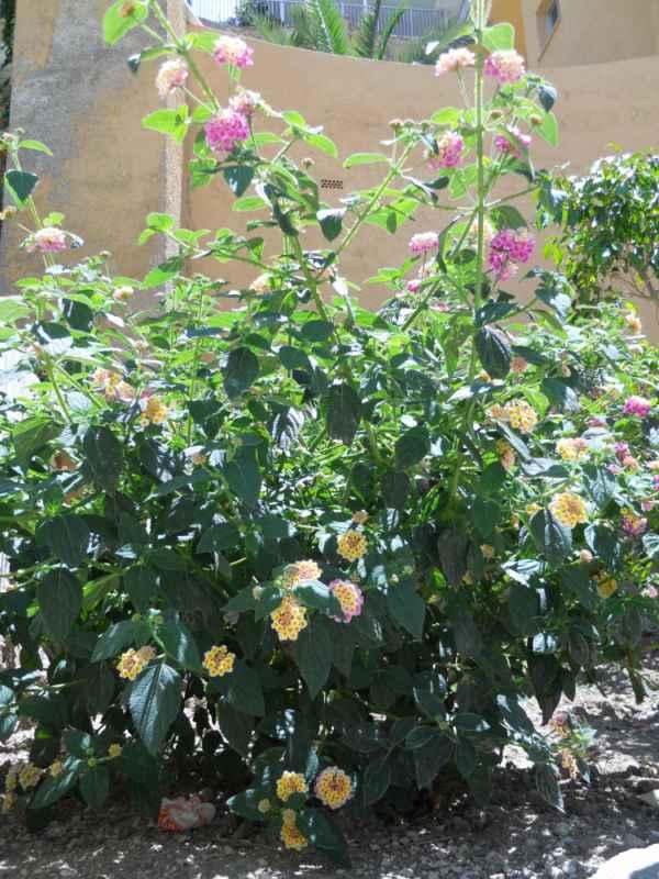 Lantana camara 'Mutabilis' arbusto v 3