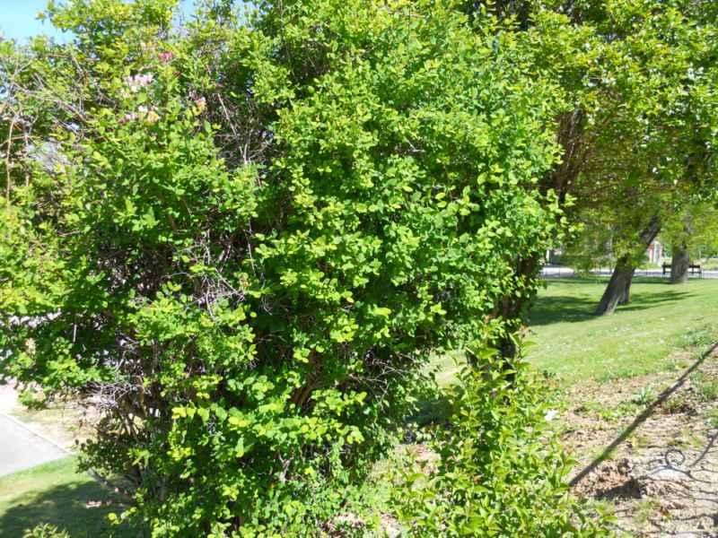 Lonicera periclymenum arbusto 3