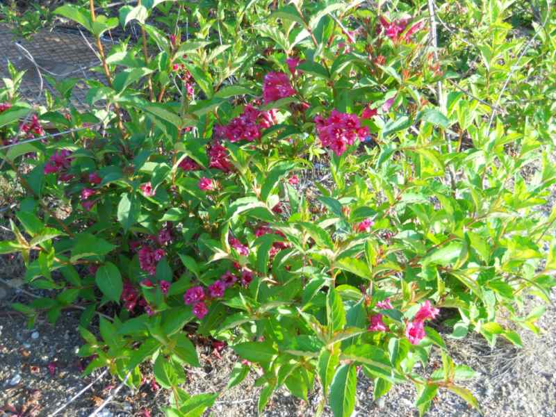 Weigela florida 'Eva Rathke' 5
