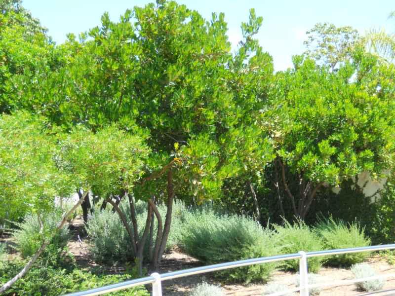 Arbustus unedo árboles 3