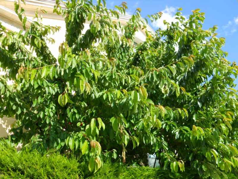Jardineros en acci n cerasus avium for Planta decorativa toxica