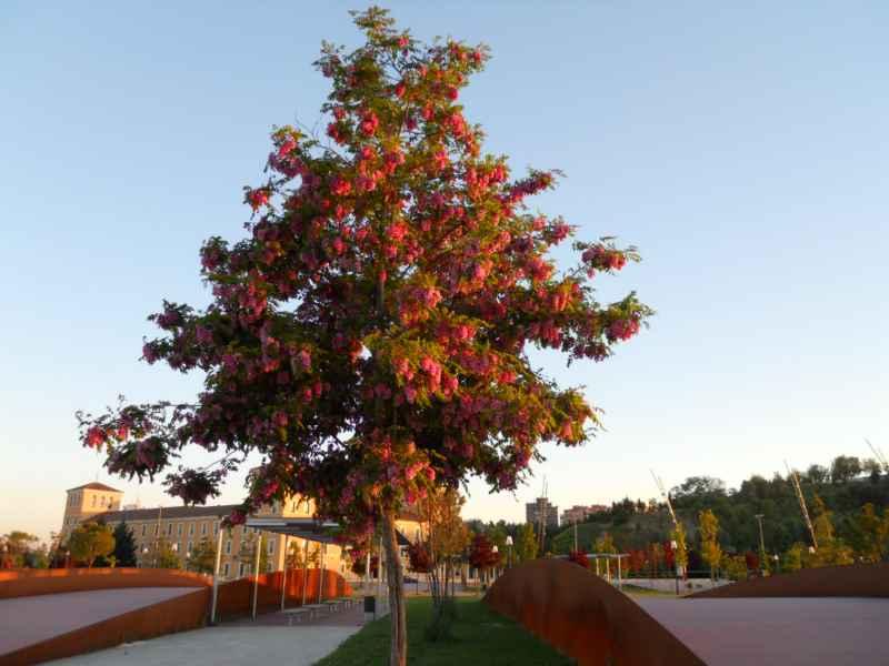 Robinia pseudoacacia 'Casque Rouge' árbol 1