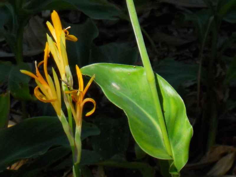 Canna latifolia 2