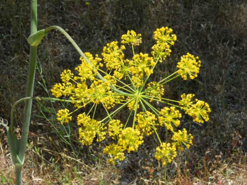 Foeniculum vulgare 'Rubrum' 3