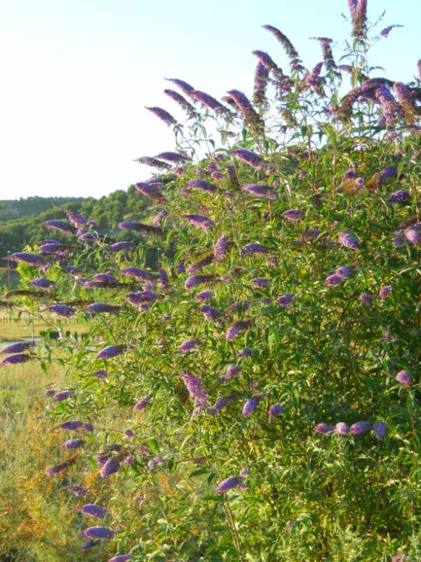 Buddleja davidii 'Empire Blue' v 3