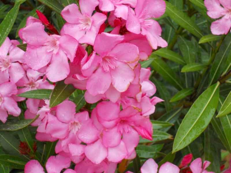 Nerium oleander 'Soleil Levant' flor 3