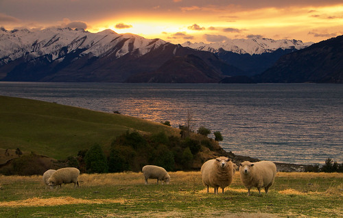 sheep at sunrise