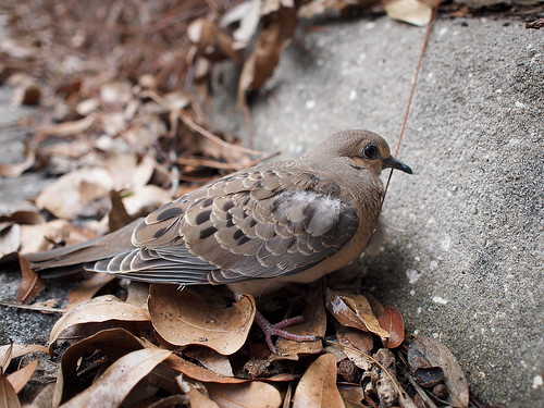 The injured dove