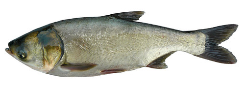 Silver carp image courtesy of Michigan Sea Grant