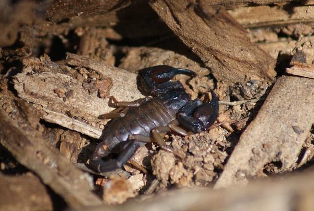 Biggest scorpion in the world - photo#40