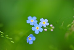 flower, yellow, sunlight, nature, wildflower, flora, green, forget-me-not, close-up, petal,