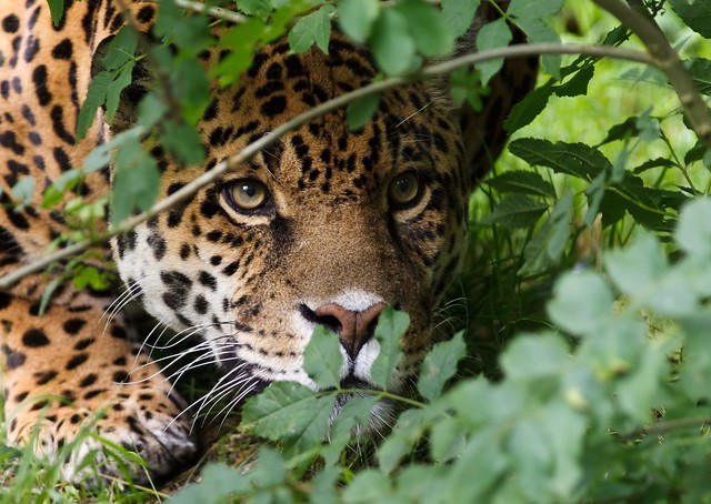 the characteristics of the jaguar a south americas big cat The jaguar is the biggest cat in the americas 'jaguar' comes from the native indian  but otherwise survive only in central and south  big cats online (august.