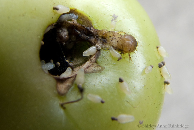 fruit fly larvae on tomato | Flickr - Photo Sharing!