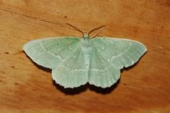 c:бледно-зеленые