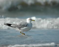 Sea Gull-0597