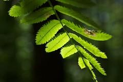 Rogn, Sorbus aucuparia