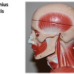 Splenius capitis, lateral view - Muscles of the Upper Extremity Visual Atlas, page 29