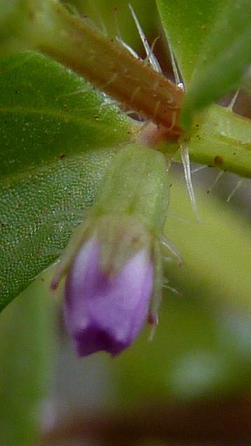 Header of Acisanthera