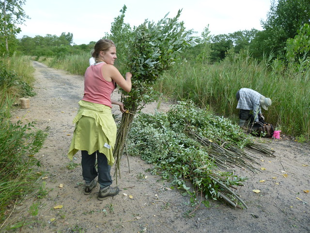 Heather Liljengren of the Greenbelt Native Plant Center bundles harvested willow saplings.