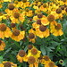 Small photo of Rudbeckia