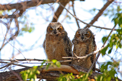 Twin Great Horned Owlets (Bubo virginianus)