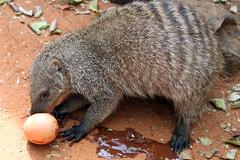 animal, mammal, fauna, viverridae, wildlife,