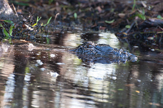 Alligator @ Okefenokee National Wildlife Refuge, Georgia | by timparkinson