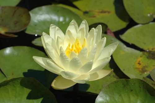 Nymphaea 'Gold Medal'