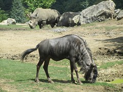 animal, wildebeest, horn, grazing, rhinoceros, fauna, savanna, safari, wildlife,