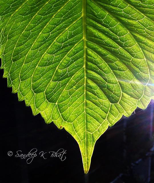 Life Lines of a Leaf