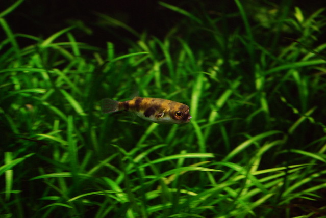 Amazon Pufferfish Flickr - Photo Sharing!