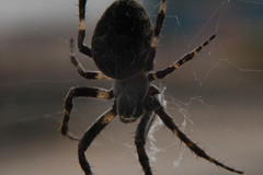 argiope(0.0), yellow garden spider(0.0), arthropod(1.0), animal(1.0), spider(1.0), araneus(1.0), invertebrate(1.0), macro photography(1.0), european garden spider(1.0), fauna(1.0), close-up(1.0), wolf spider(1.0),
