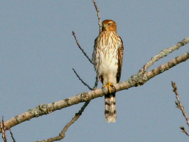 Coopers Hawk 20100824