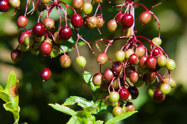 Ripening elderberries