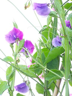 Sweat Peas
