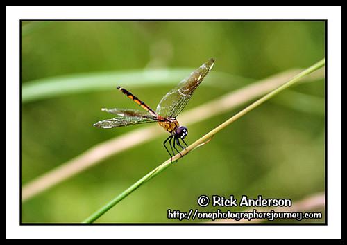 lake nature nc dragonfly northcarolina dragonlet lakemattamuskeet